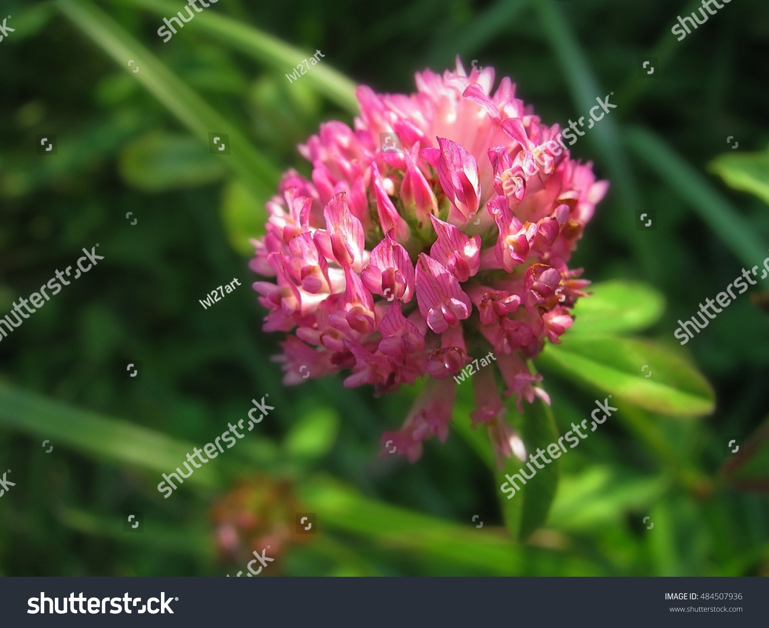Beautiful Purple Clover Flower On A Background Of Grass Ez Canvas