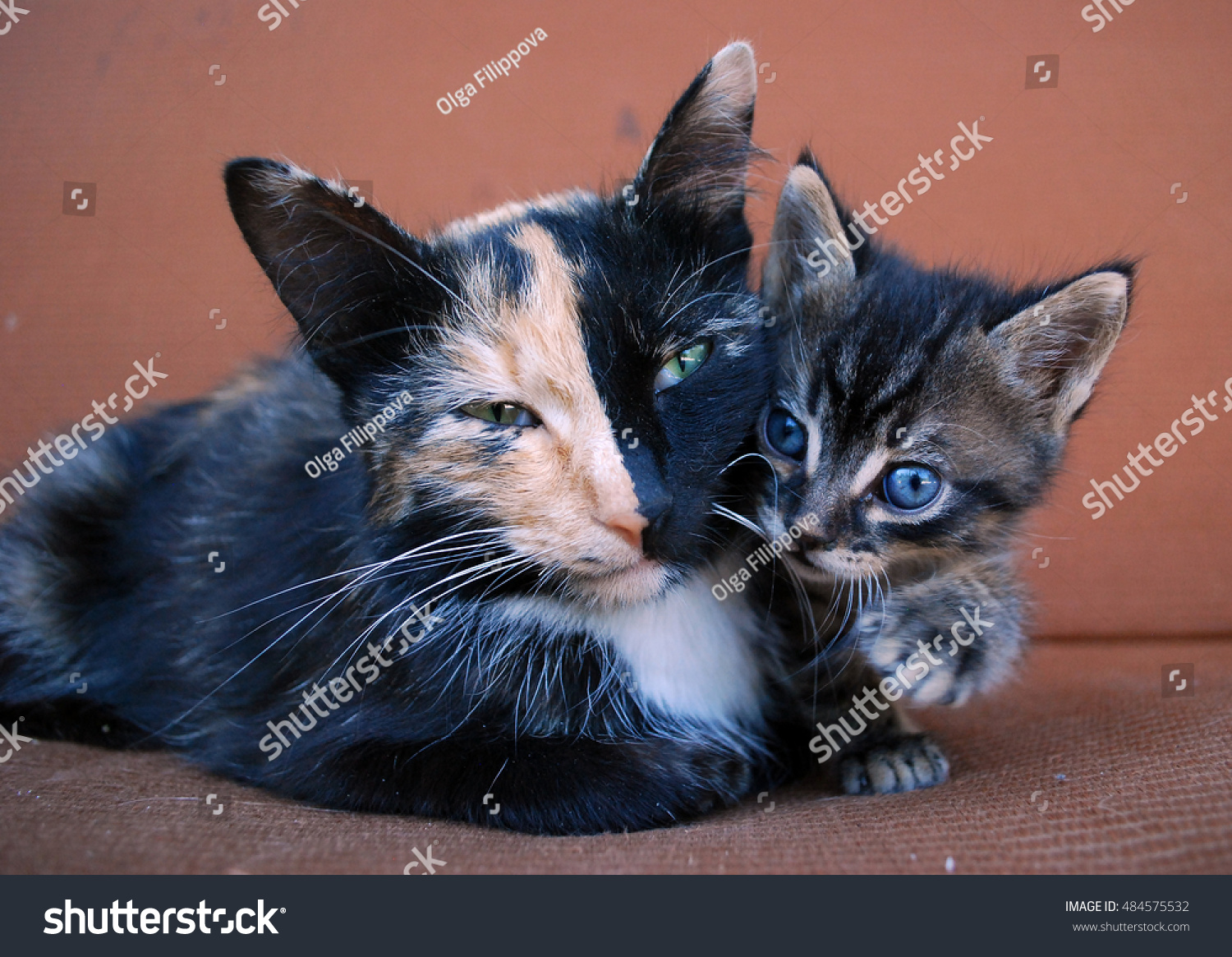 Tricolor Mother Cat Heterochromia Cute Kitty Stock