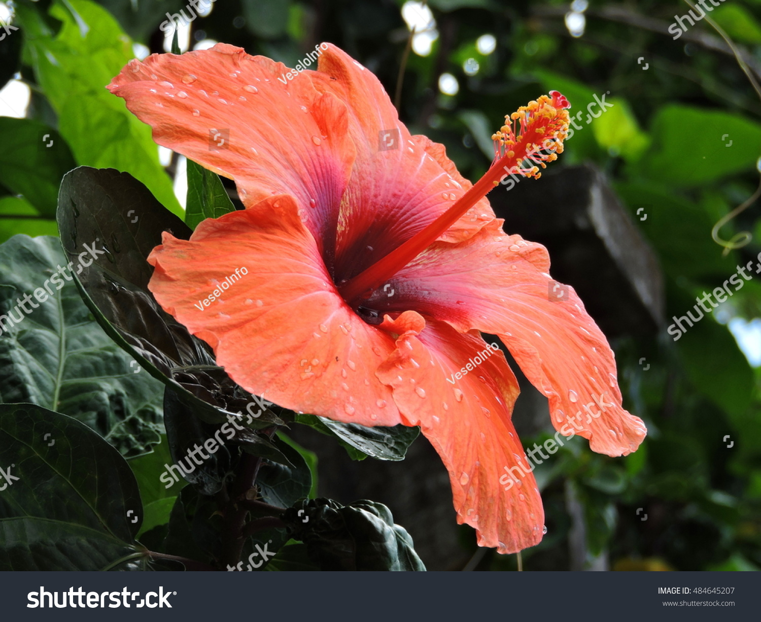 Hibiscus Flower Garden Dominica Island Caribbean Stock Photo Edit Now 484645207