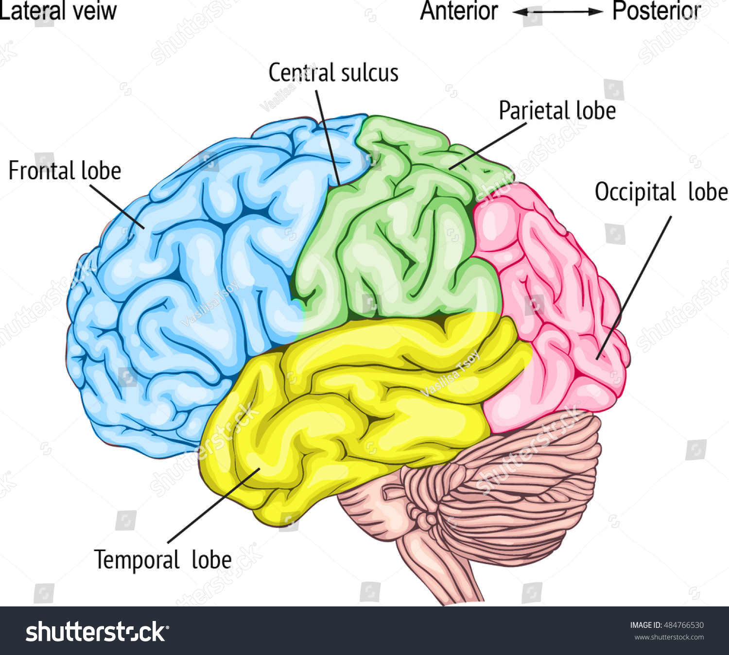 Anatomy Human Brain Areas Cerebral Cortex Stock Vector Royalty Free