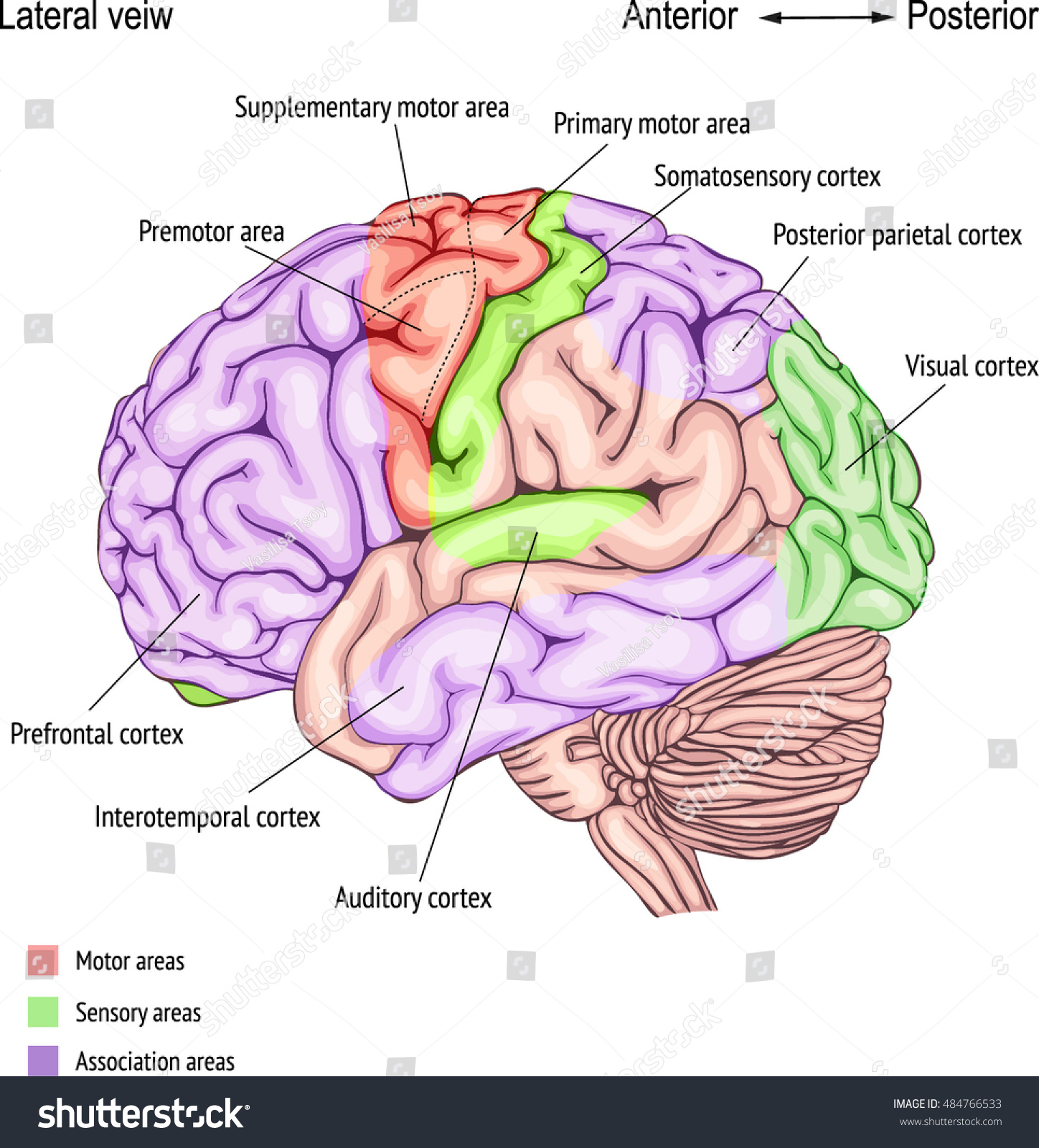Anatomy Human Brain Areas Cerebral Cortex Vector de stock (libre de ...