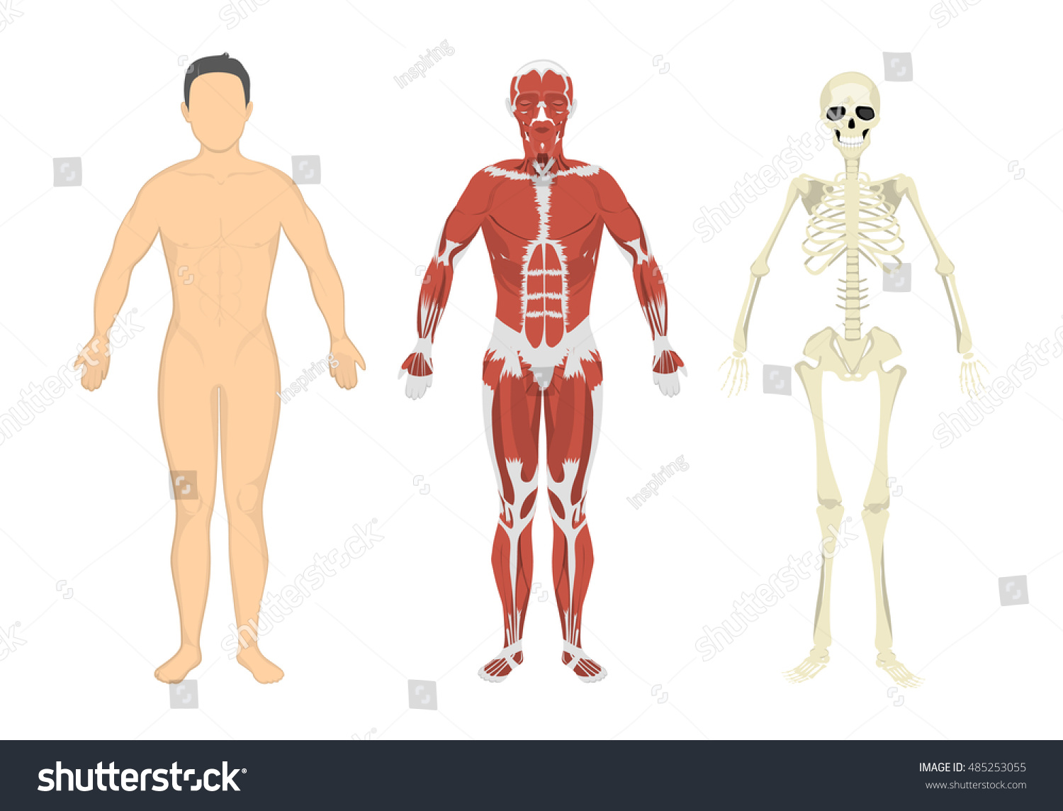 Human Body Muscles Skeleton Human Anatomy Stock Vektorgrafik