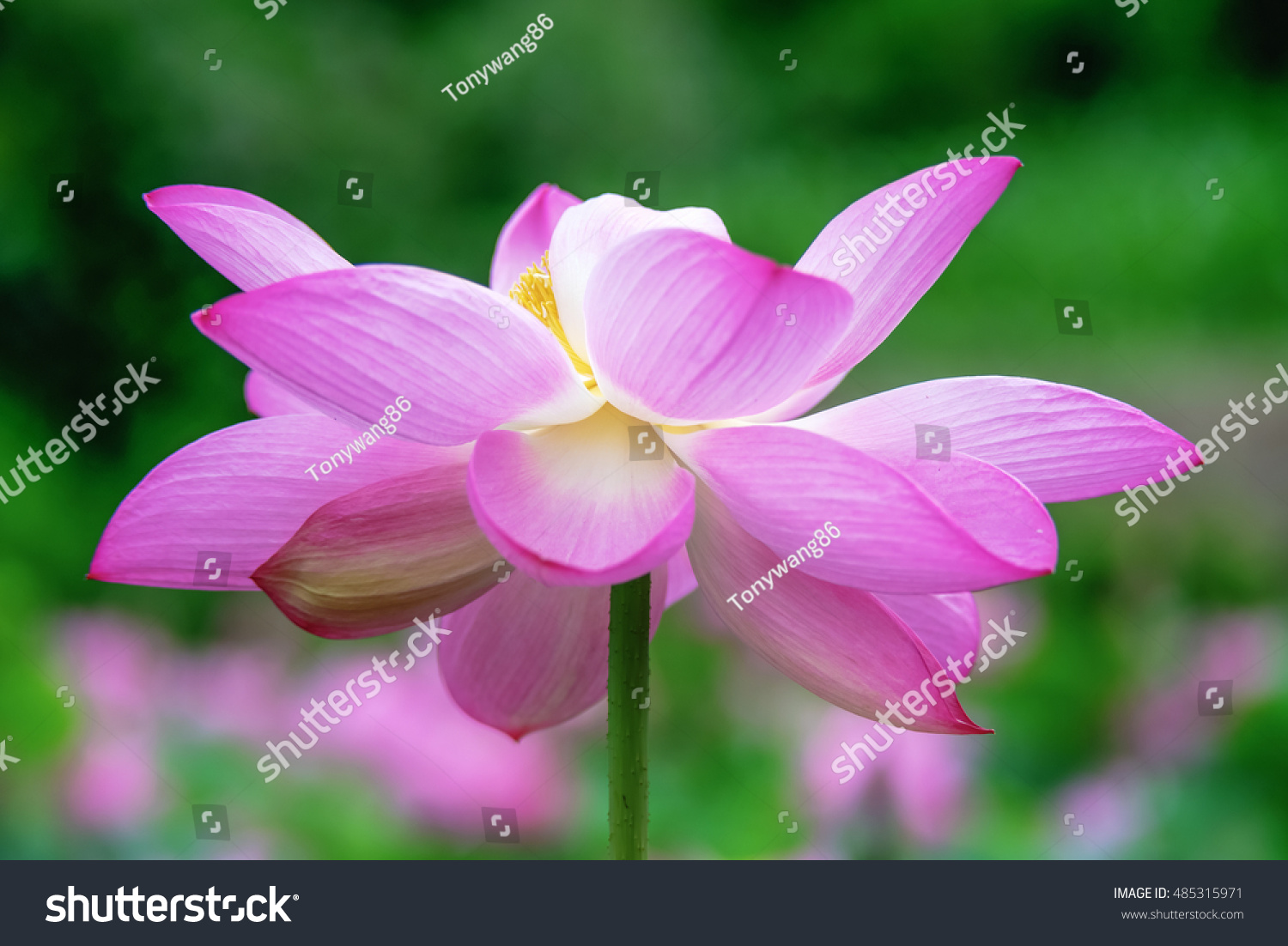 Big Lotus Blossom Stock Photo Edit Now 485315971 Shutterstock