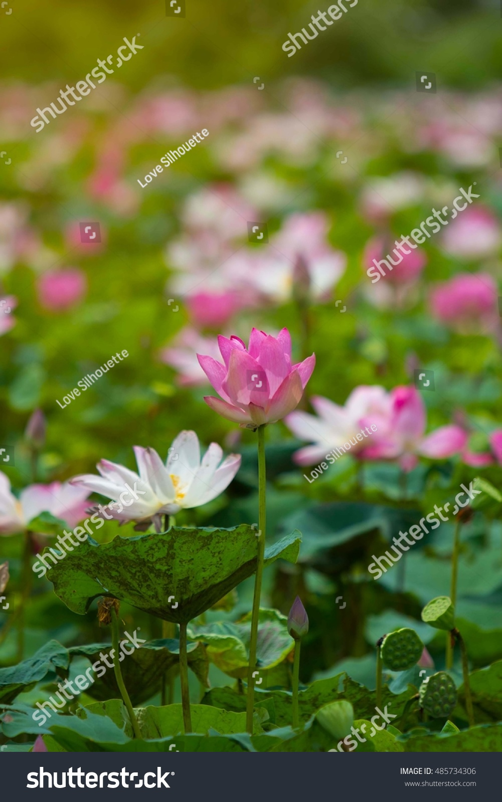 Lotus Flower River Stock Photo 100 Legal Protection 485734306