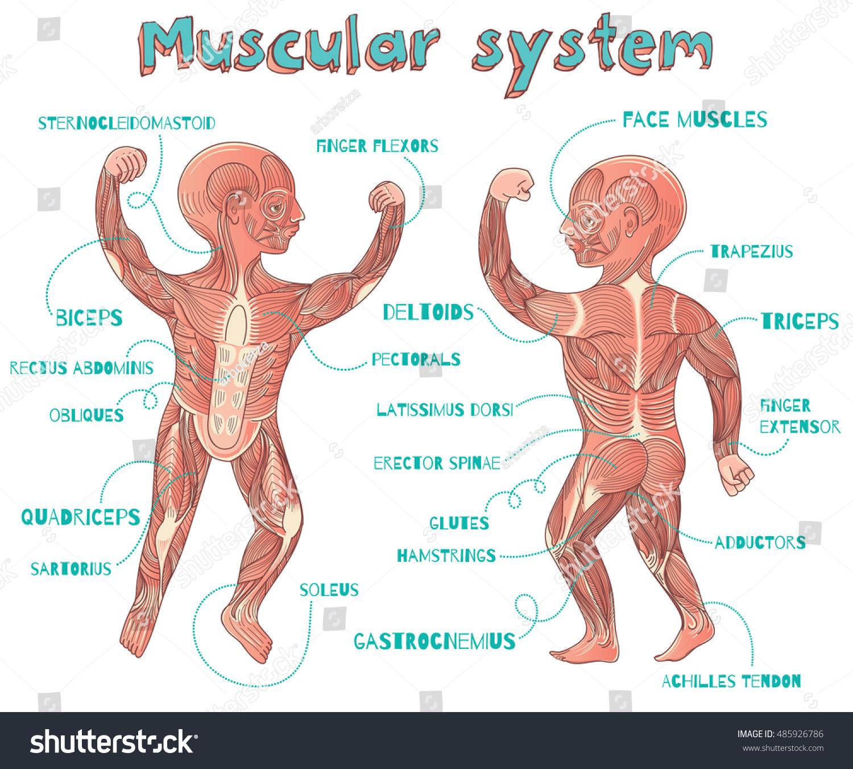 Human Muscular System Kids Vector Color Stock Vektorgrafik