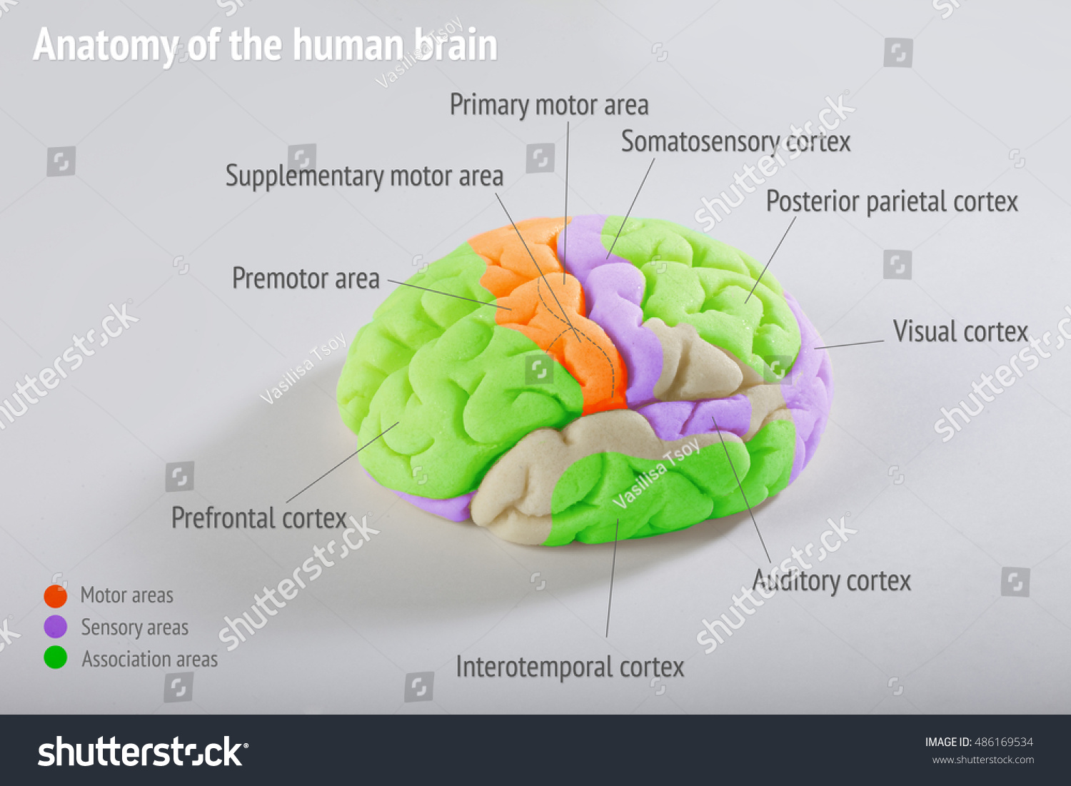Anatomy Human Brain Areas Cerebral Cortex Foto de stock (editar ...