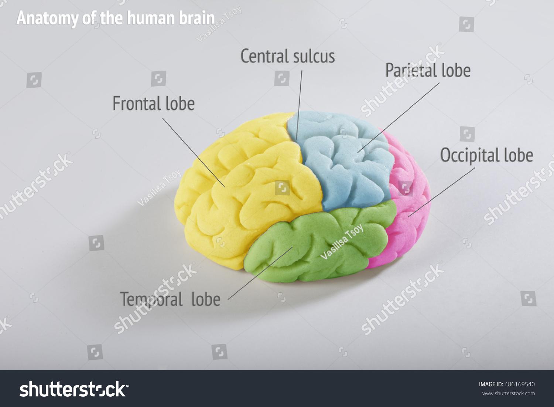 Anatomy Human Brain Areas Cerebral Cortex Stock Photo (Royalty Free ...