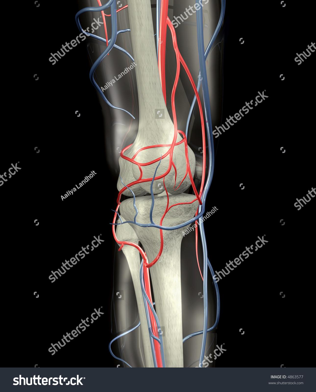 Knee Bones, Arteries, Veins Stock Photo 4863577 : Shutterstock