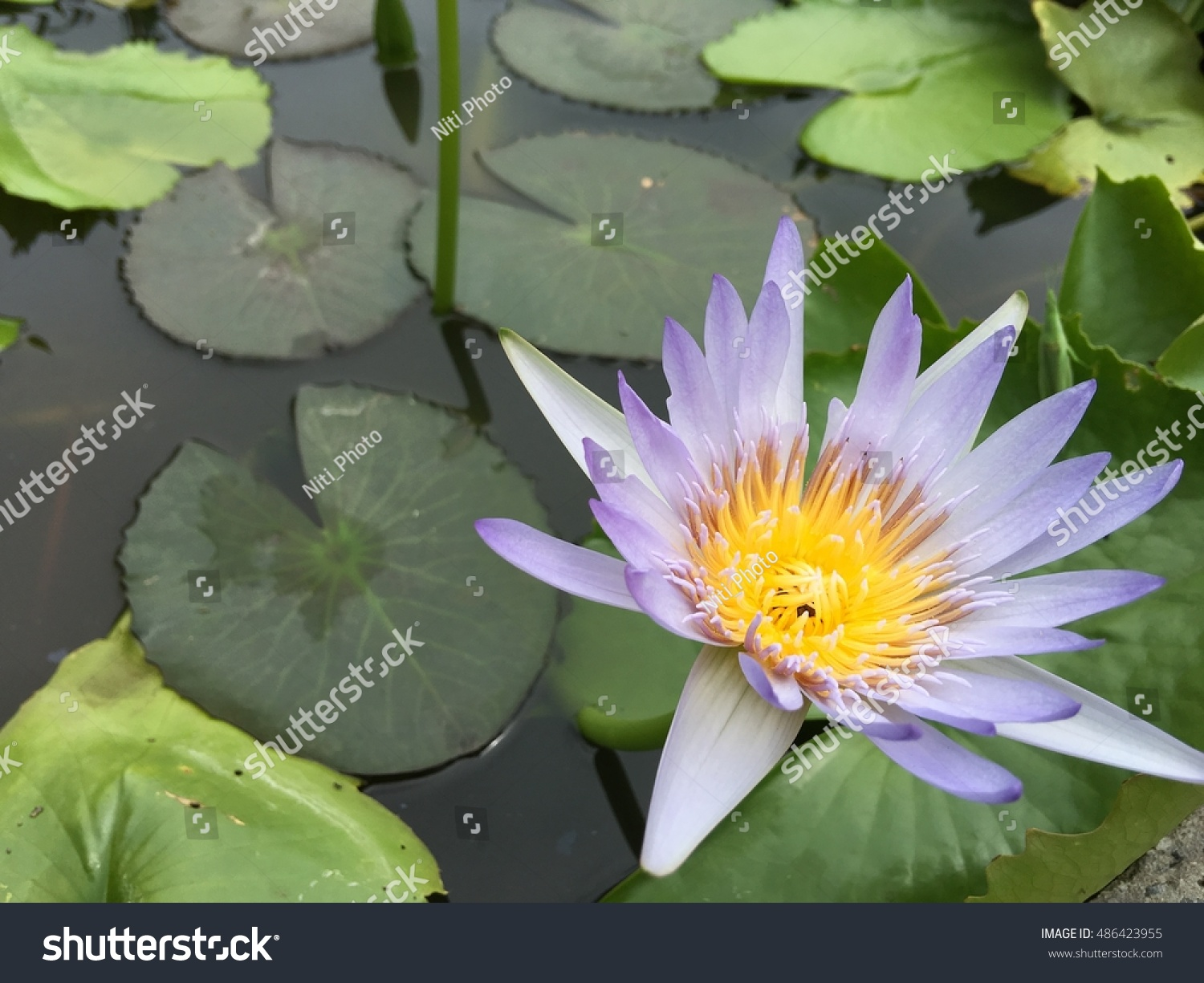 This Beautiful Waterlily Lotus Flower Complimented Stock Photo Safe