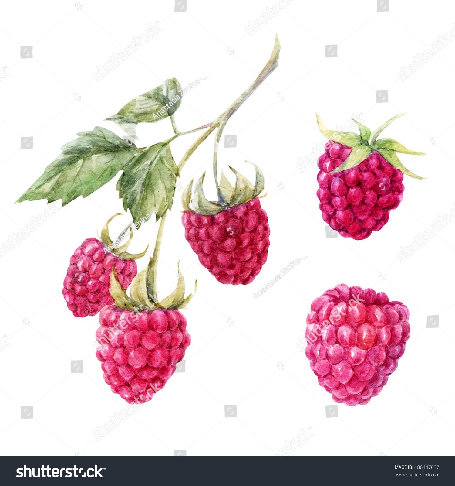 Raspberry: useful properties of berries and leaves 38