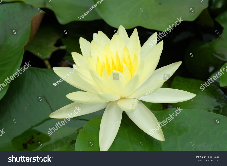 Yellow Lotus Flower And Lotus Flower Plants Ez Canvas