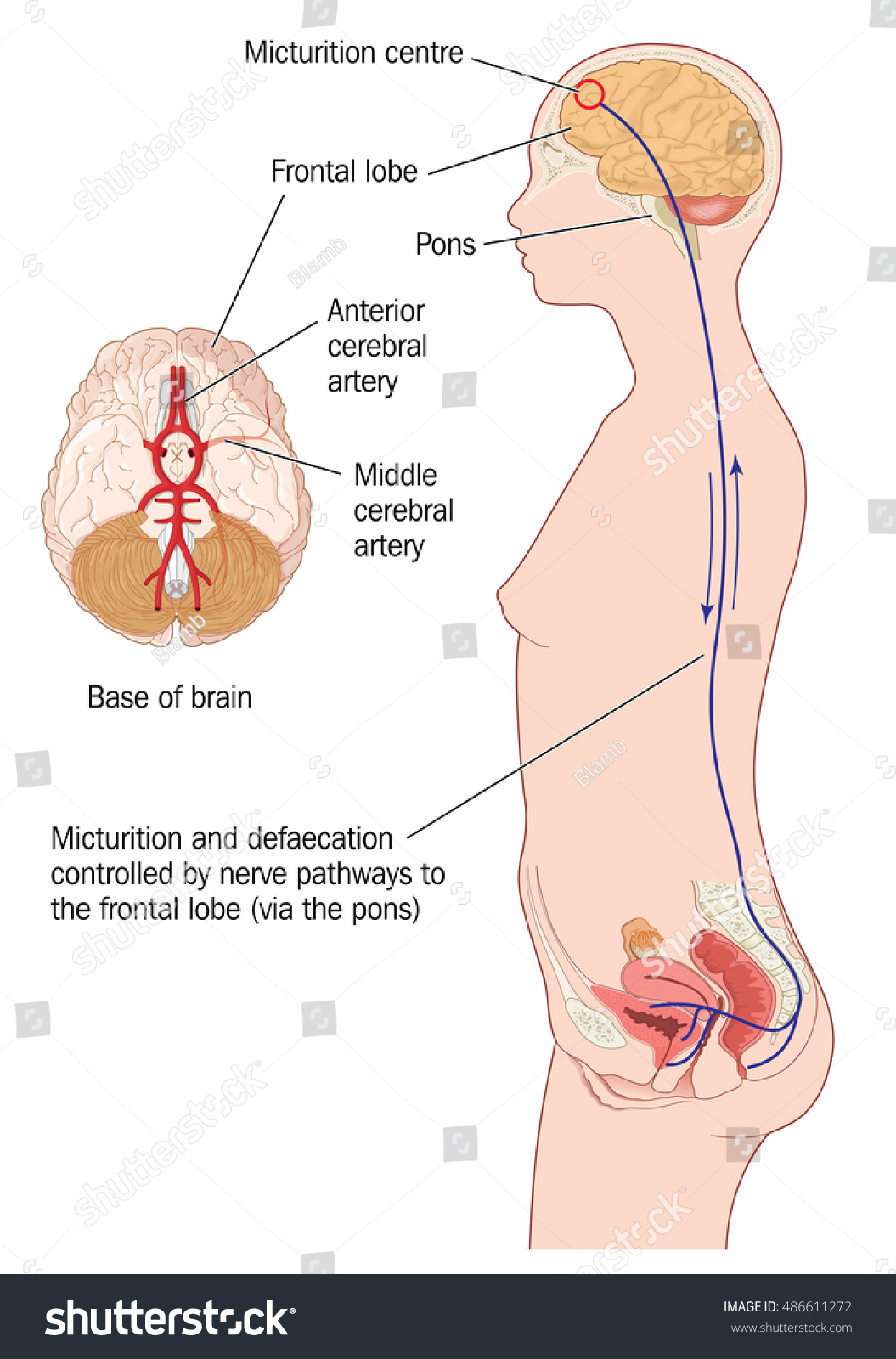 Nerve Pathways Frontal Lobe Brain Urinary Stock Illustration