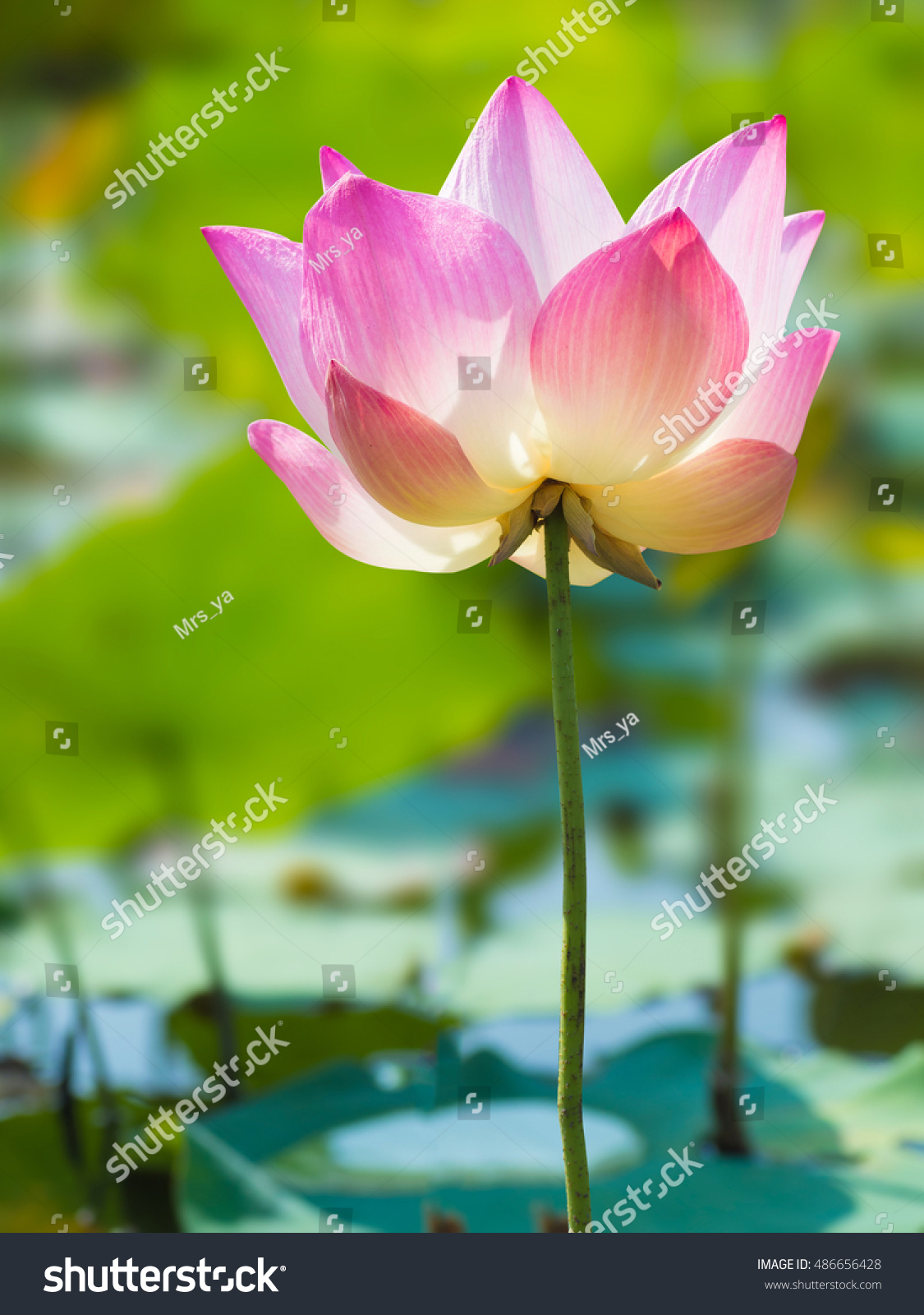 Pink lotus flower blooming outdoor pond stock photo royalty free pink lotus flower blooming in the outdoor pond in nature izmirmasajfo