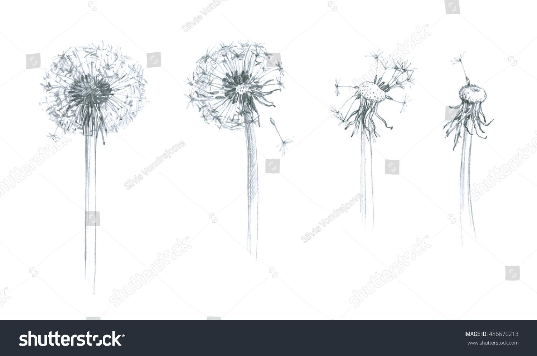 Dandelion Flower Line Drawing : Dandelion wild flower hand pencil drawing stock