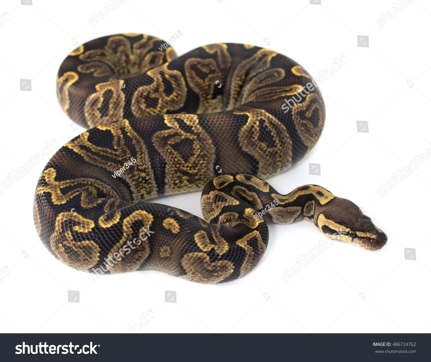 Ghi Ball Python On White Background Stock Photo (Edit Now