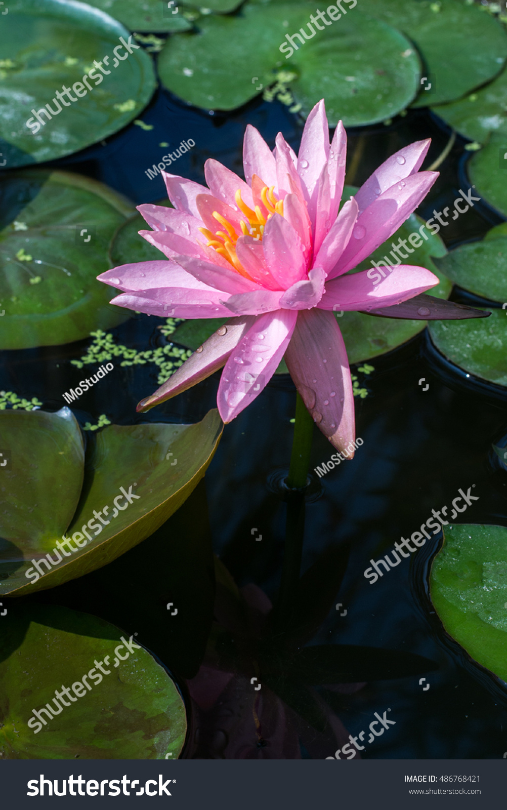 Lotus Flower Pond Stock Photo Download Now 486768421 Shutterstock