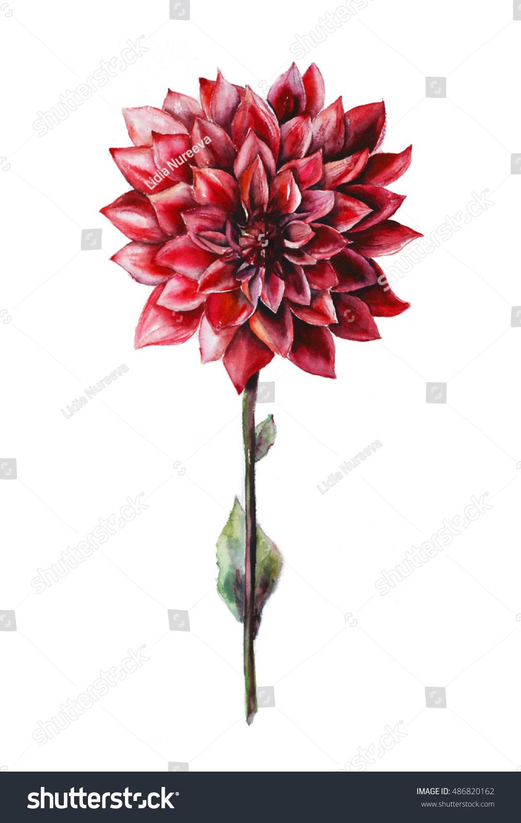 Red Dahlia Flower Watercolor Stock Illustration 486820162 Shutterstock