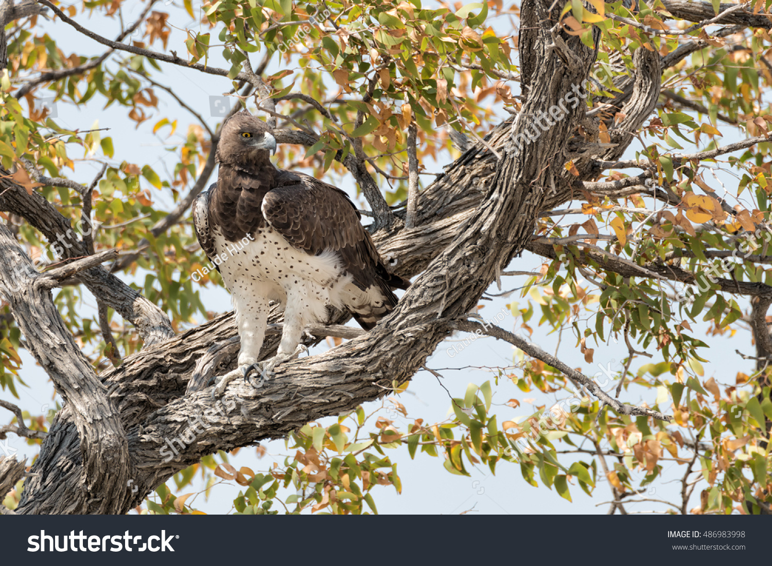 Martial eagle (Polemaetus bellicosus) perched in a tree in Etosha National Park, Namibia