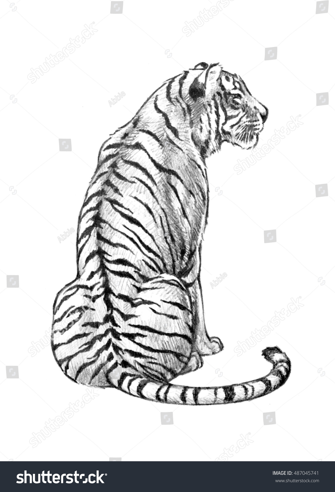 A tiger illustration of a powerful jungle animal in a hand sketched pencil drawing