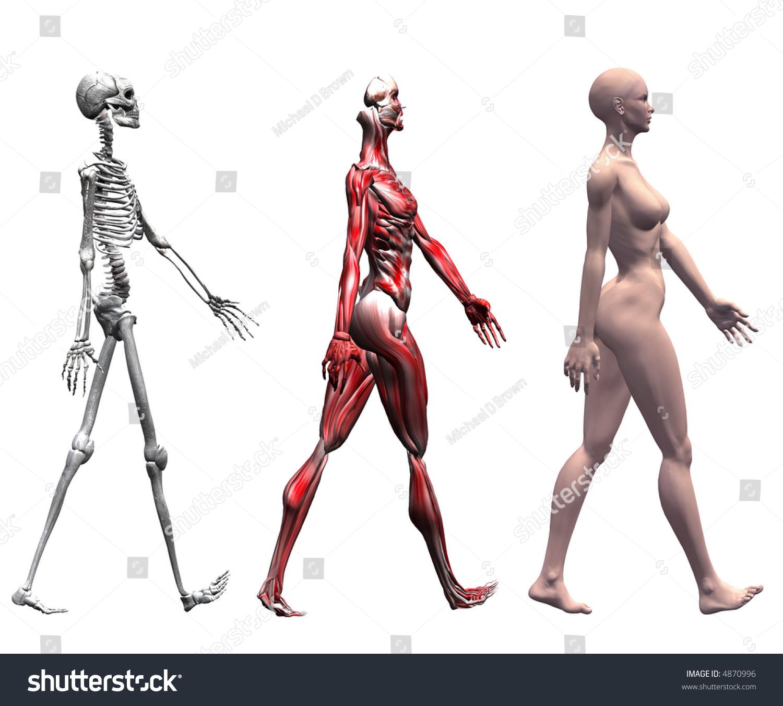 Anatomical Illustration Skeleton Muscles Walking Human Stock ...