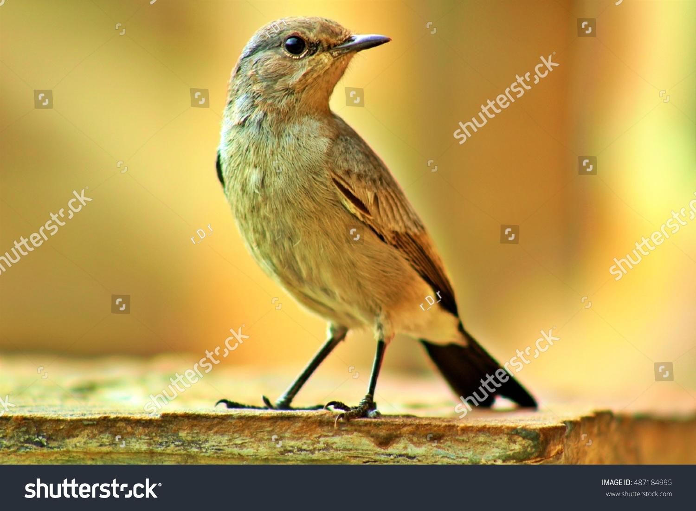 stock-photo-isabelline-wheatear-bird-is-