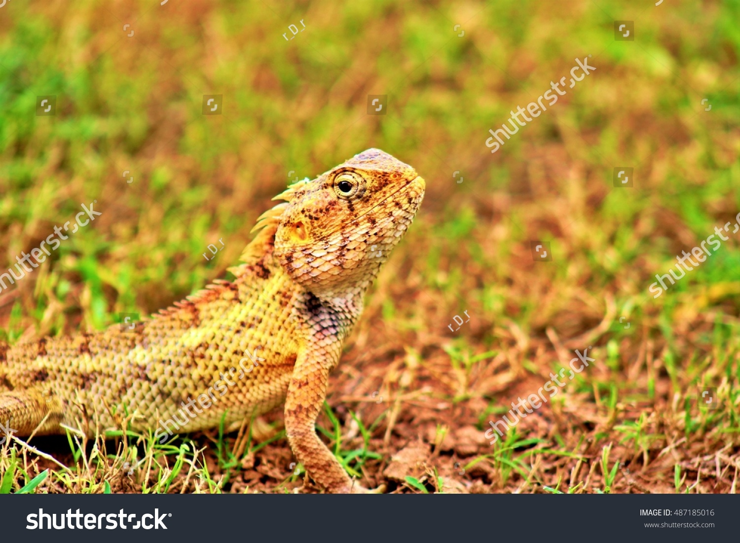 stock-photo-calotes-is-looking-me-487185