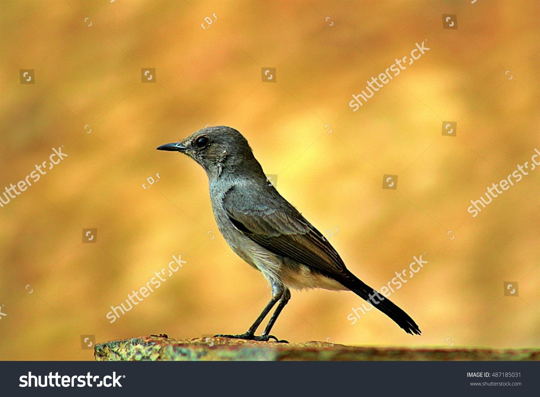 stock-photo-olivaceous-blackstart-bird-i