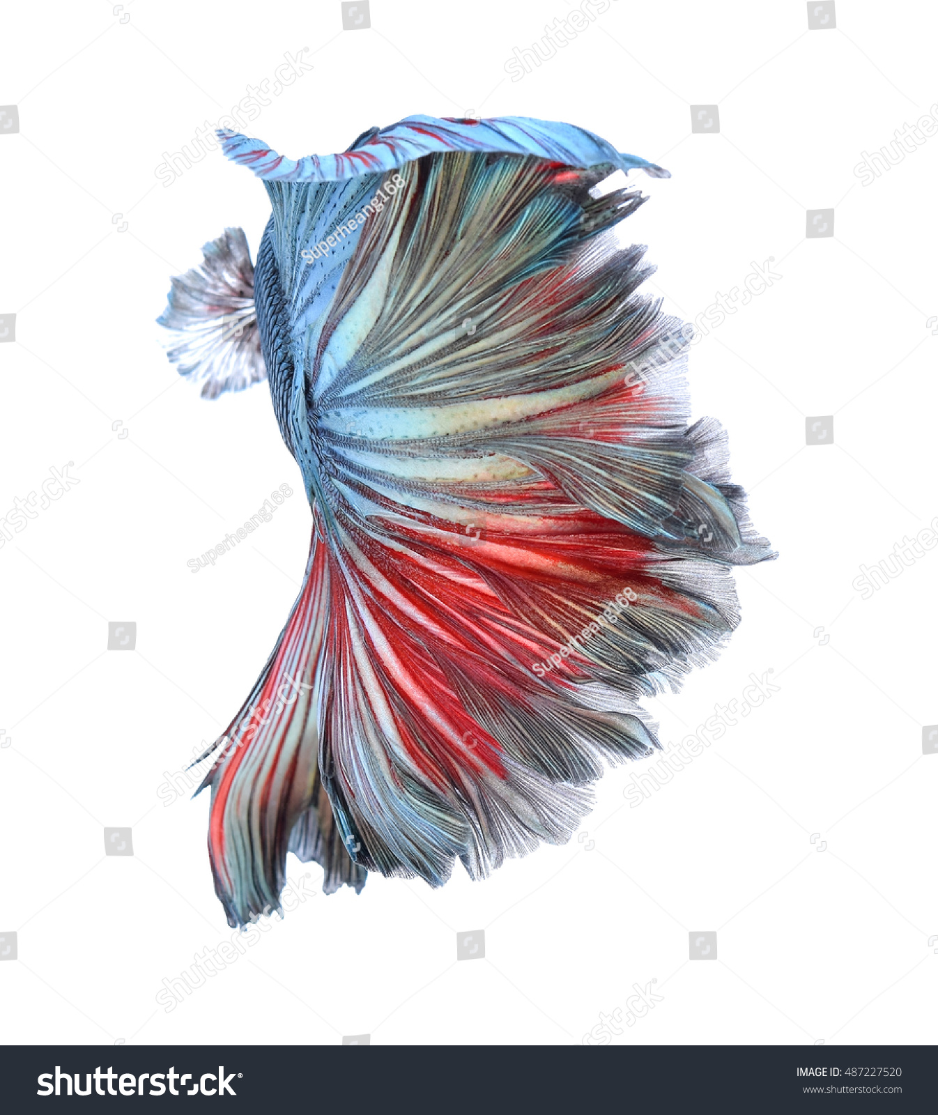 Royalty-free Beauty colorful Betta fish tail of… #487227520 Stock ...
