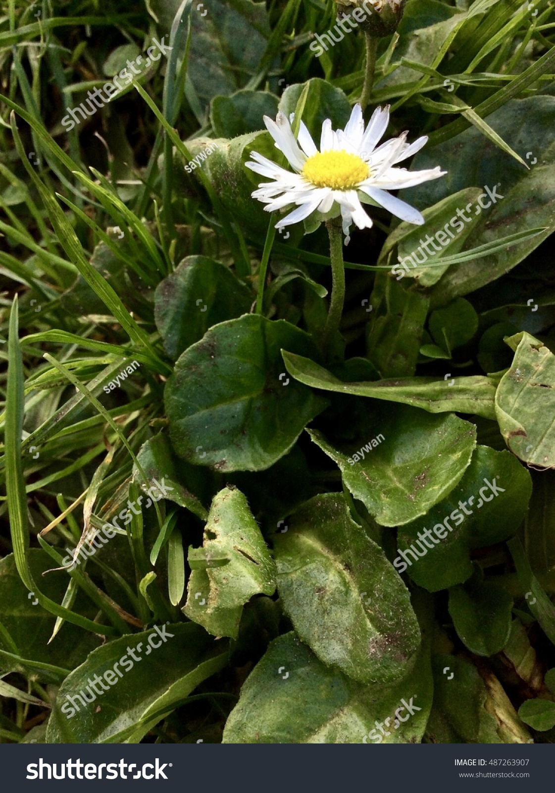 Daisy Flower Among Leaves Thorn Stock Photo Edit Now 487263907