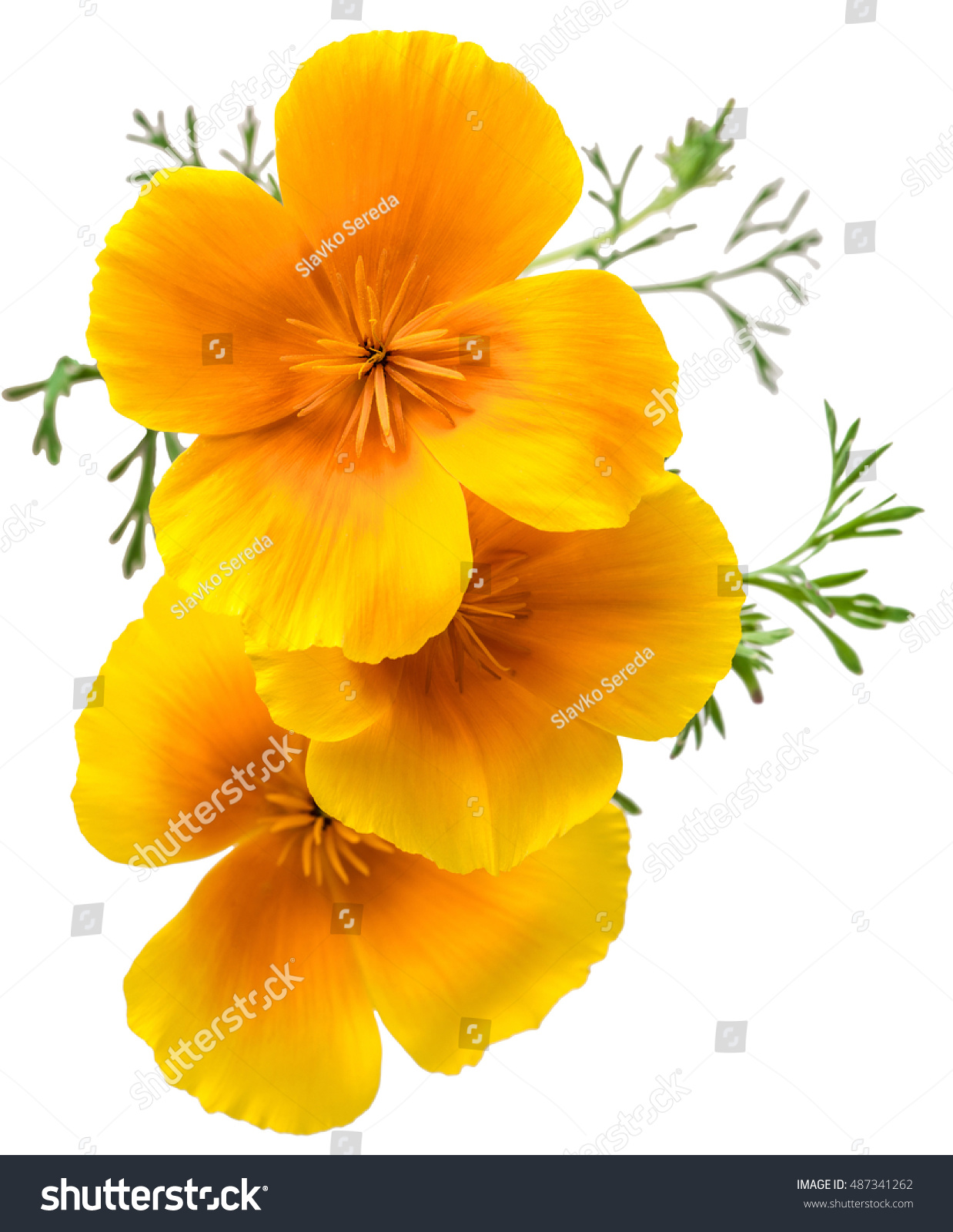 Flower Eschscholzia Californica California Poppy Golden Stock Photo