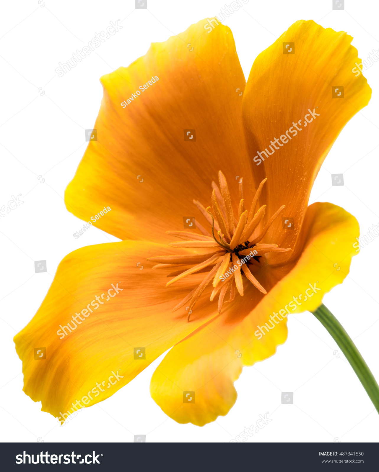 Flower Eschscholzia Californica California Poppy Golden Poppy