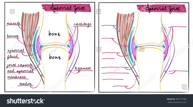 Vector Illustration Synovial Joint Stock Vector 487377286 - Shutterstock