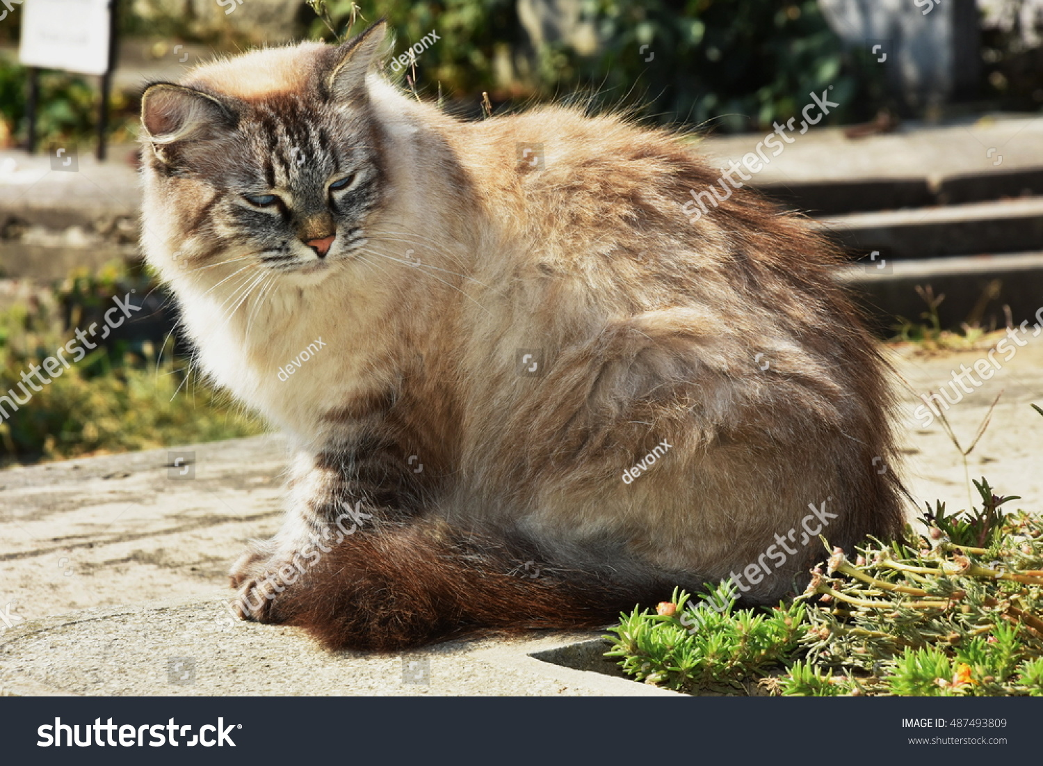 Beautiful Big Cat Breed Cemetery Stock Shutterstock