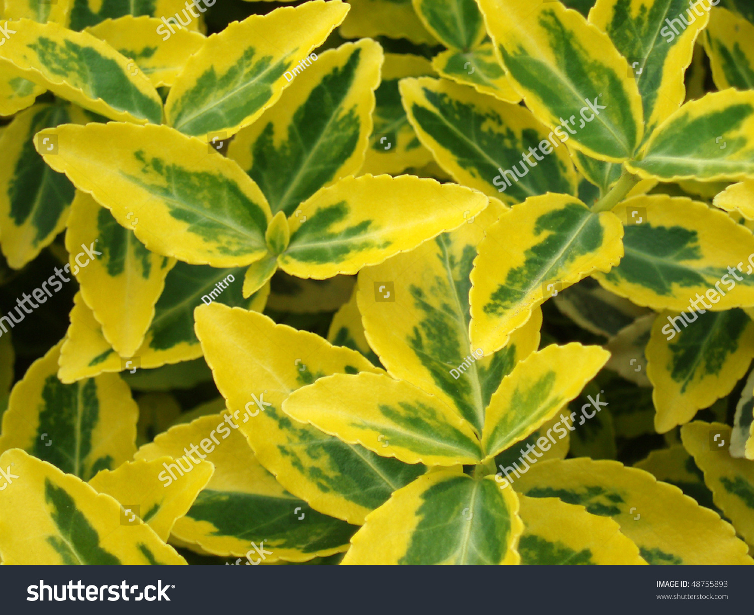 Yellowgreen Leaves Tropical Plant Macro Stock Photo Edit Now 48755893 So i make sure to be proactive in trimming any crispy or yellow leaves. https www shutterstock com image photo yellowgreen leaves tropical plant macro 48755893