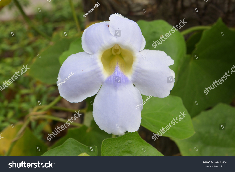Beautiful blue purple soft nice flower of laurel clock vine blue id 487644454 izmirmasajfo