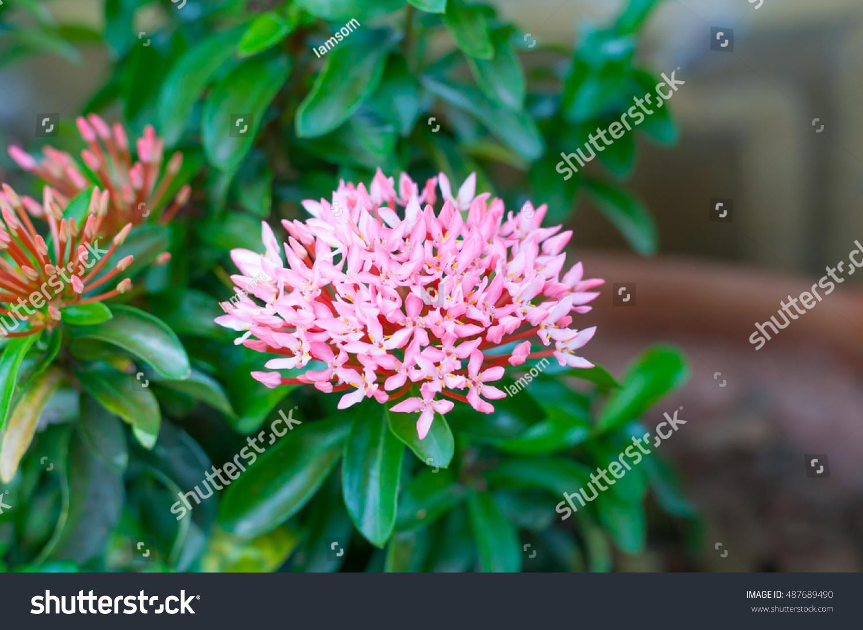 Pink Spike Flower Pink Ixora Stock Photo Edit Now 487689490