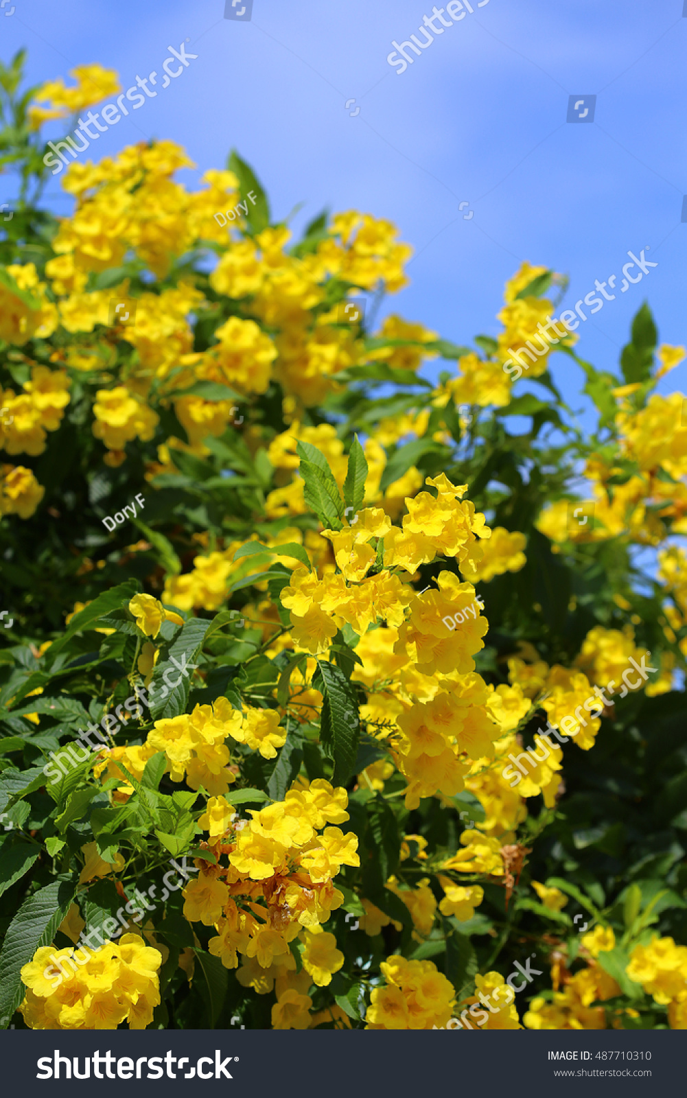 Tecoma Stans Yellow Bells Blooming Flowers Stock Photo Edit Now