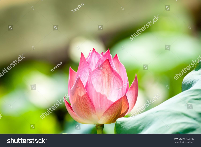 Soft Focus Lotus Flower Symbol Pureness Stock Photo Royalty Free