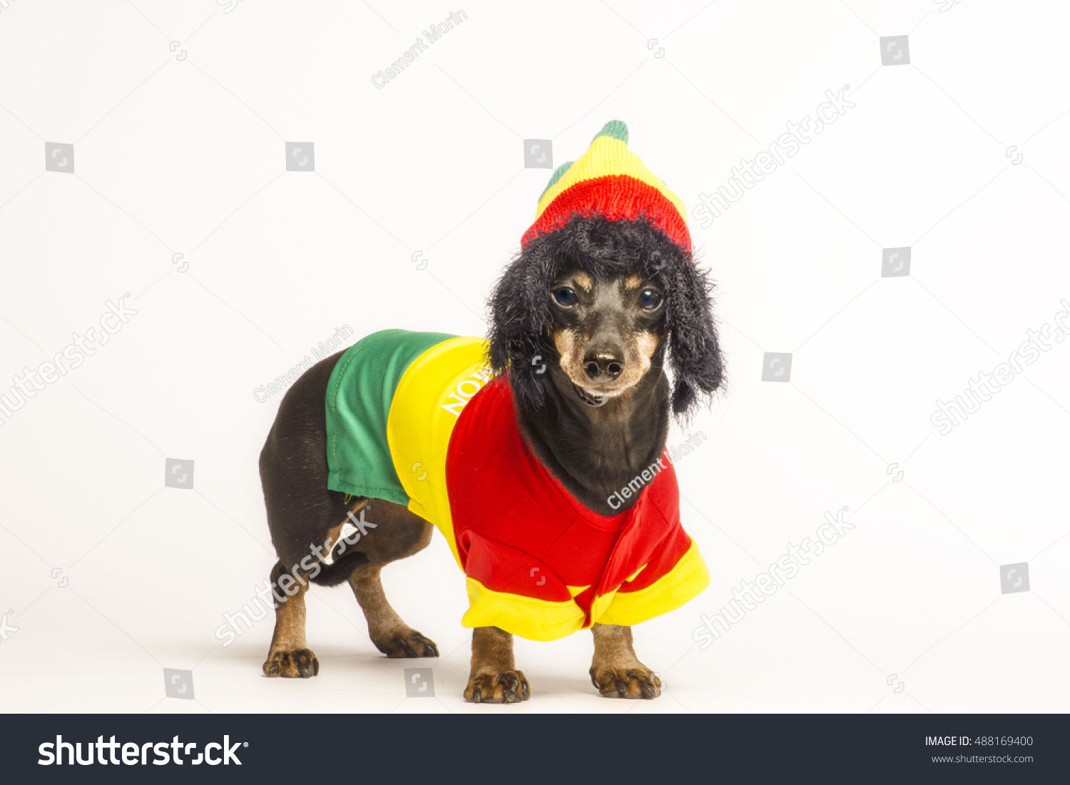 32ad8277333 Small Mix Dachshund Dog Wearing Red Stock Photo (Edit Now) 488169400 ...