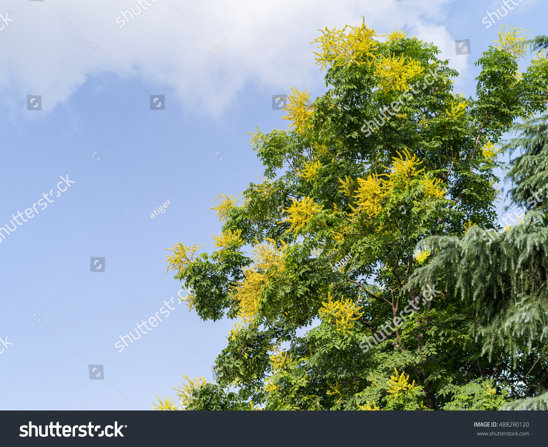 Yellow Flowers Golden Rain Tree Blue Stock Photo Edit Now