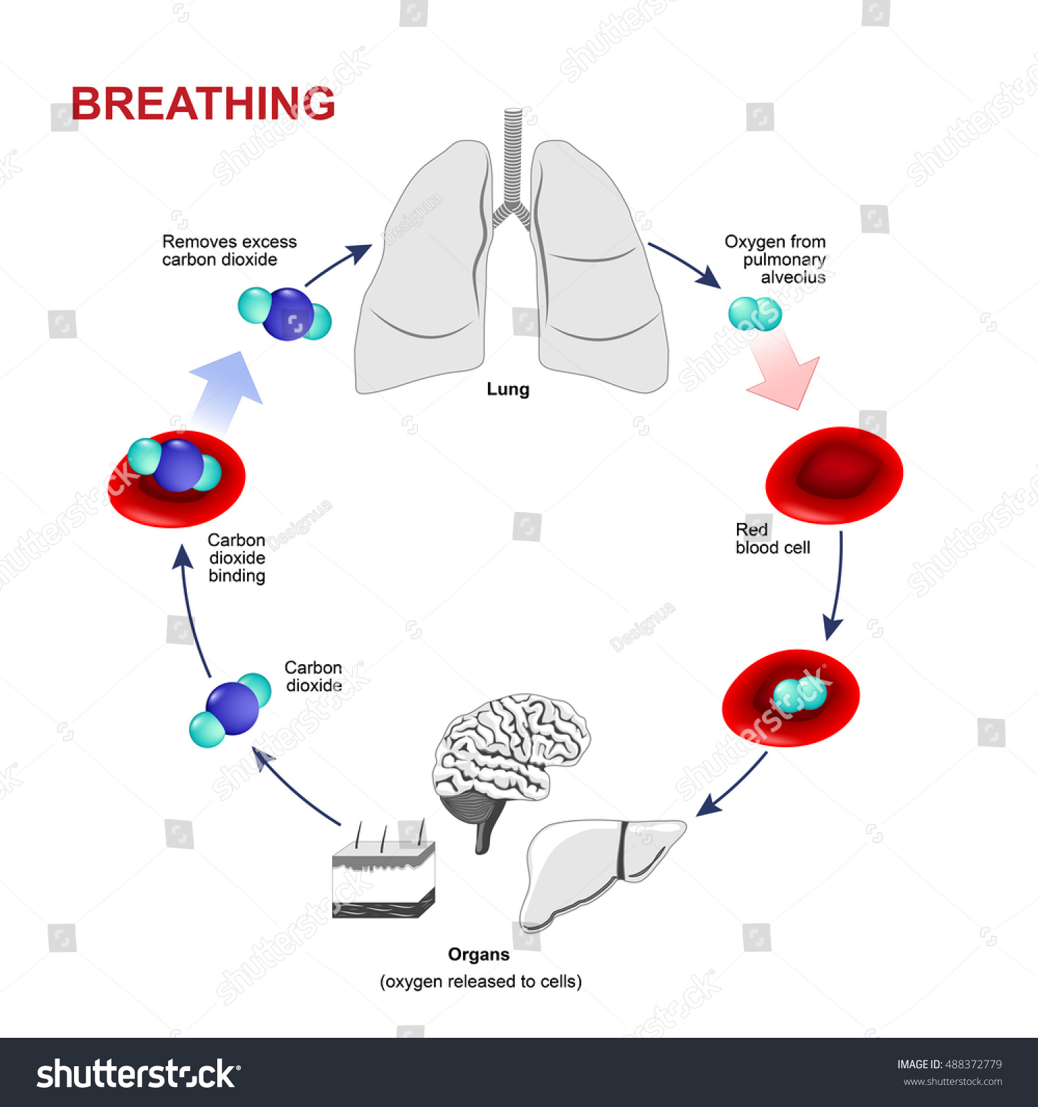 gas exchange in humans essay Nb: gas exchange is the process by which oxygen reaches cells and waste products are removed, don't confuse with respiration which is energy production in cells.