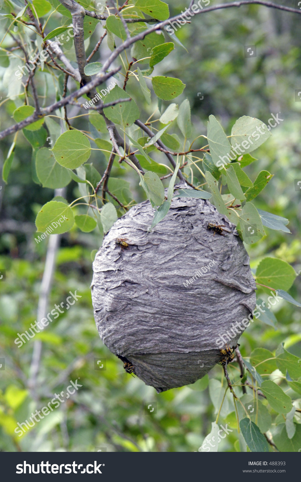 Wasps Nest Tree Stock Photo 488393 - Shutterstock