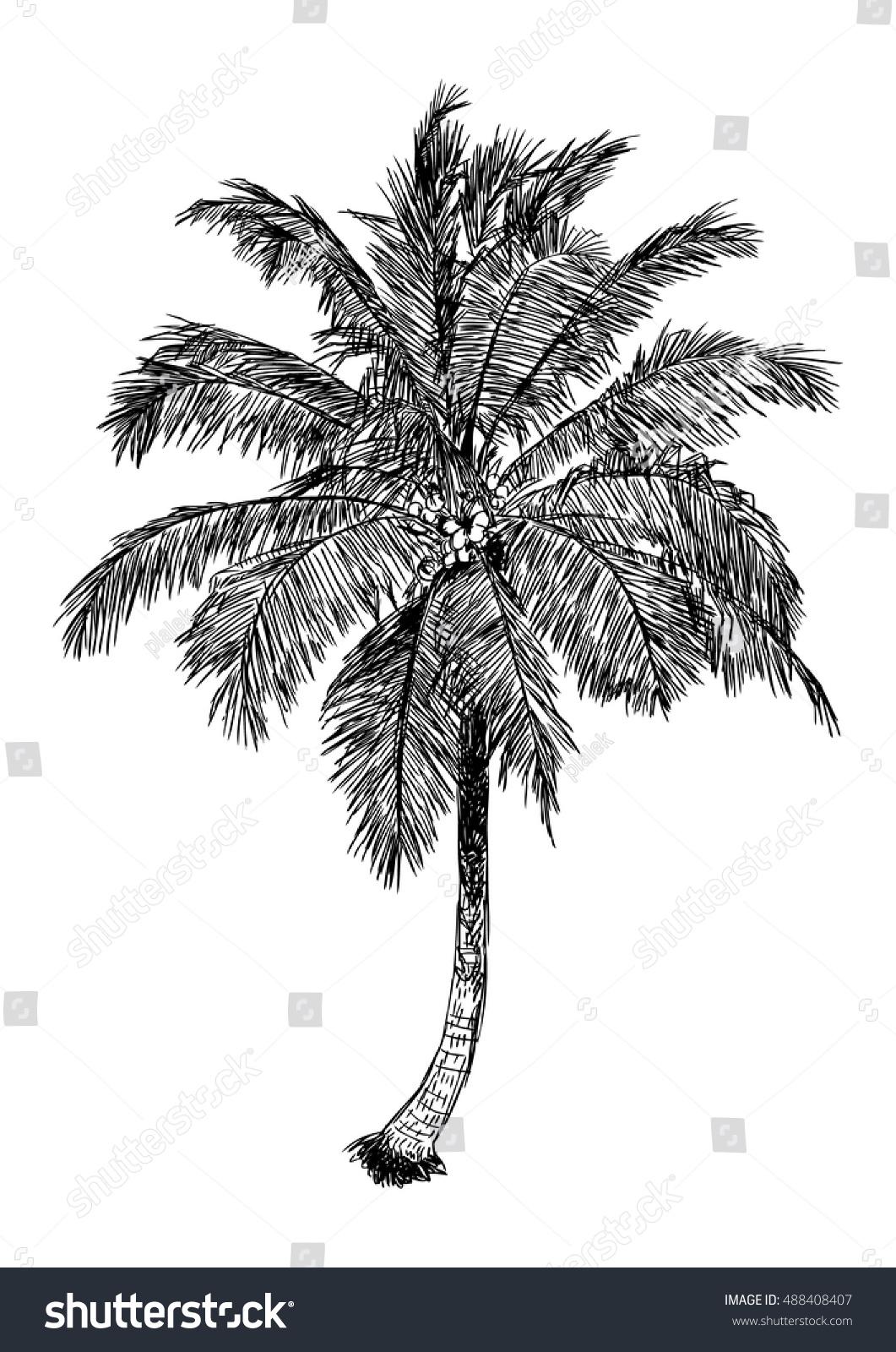 hand drawn illustration coconut tree sketch stock vector 488408407