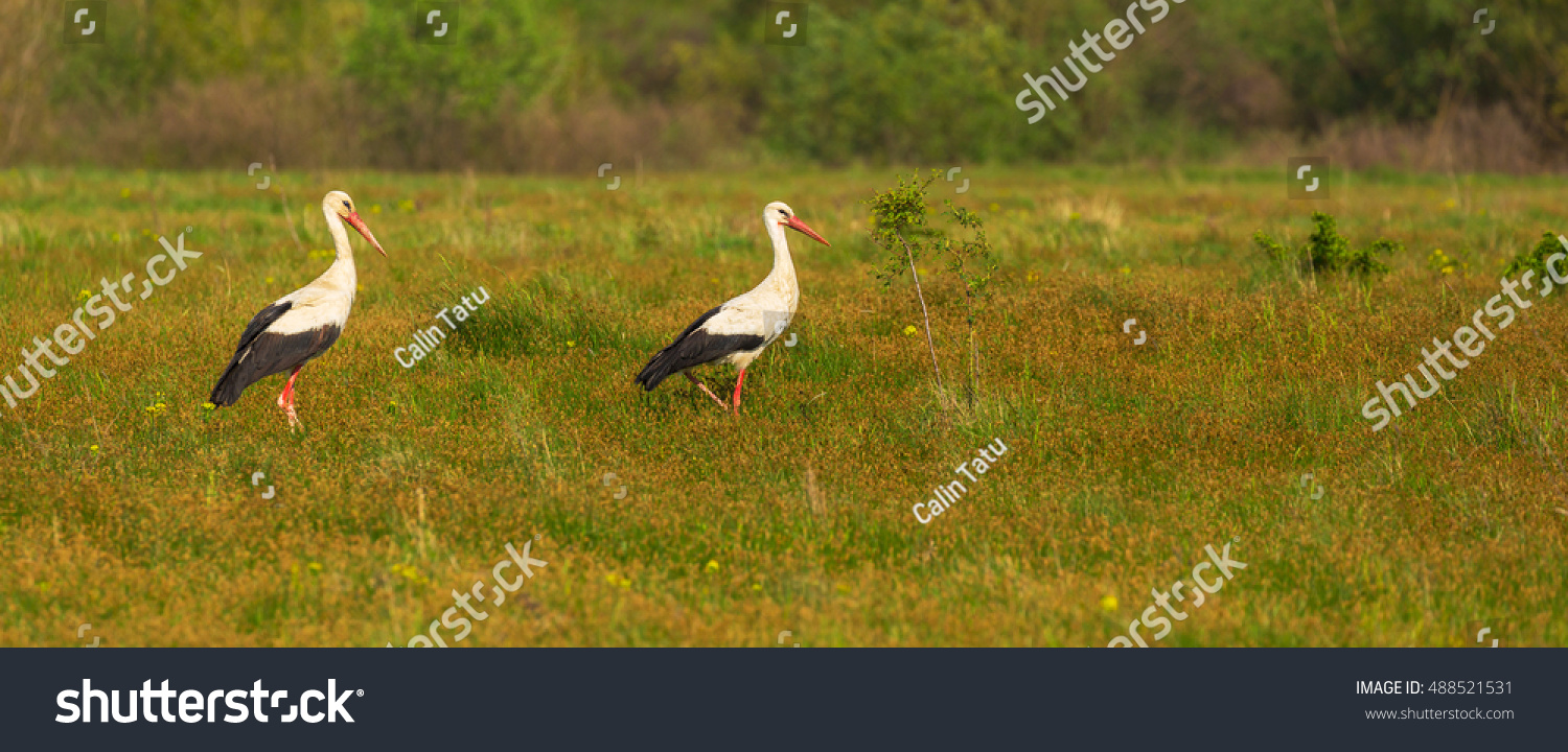 European Stork Ciconia Natural Environment During Stock