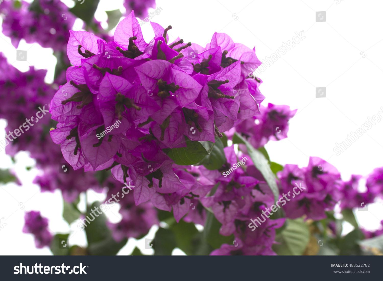 Bougainvillea Paper Flower Colorful Color Stock Photo Edit Now