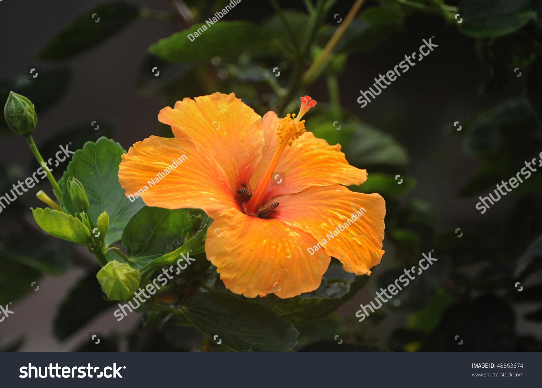 One orange hibiscus flower in maui hawaii november 2008 ez canvas id 48863674 izmirmasajfo