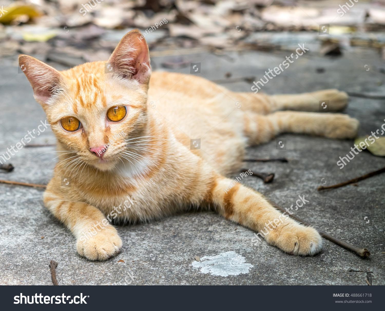 golden brown cat lay on stock photo 488661718 shutterstock