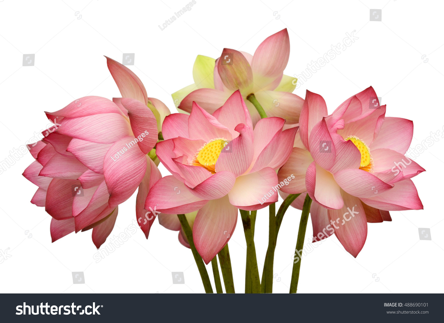 Beautiful Lotus Flower Bouquet Isolated On Stock Photo Royalty Free