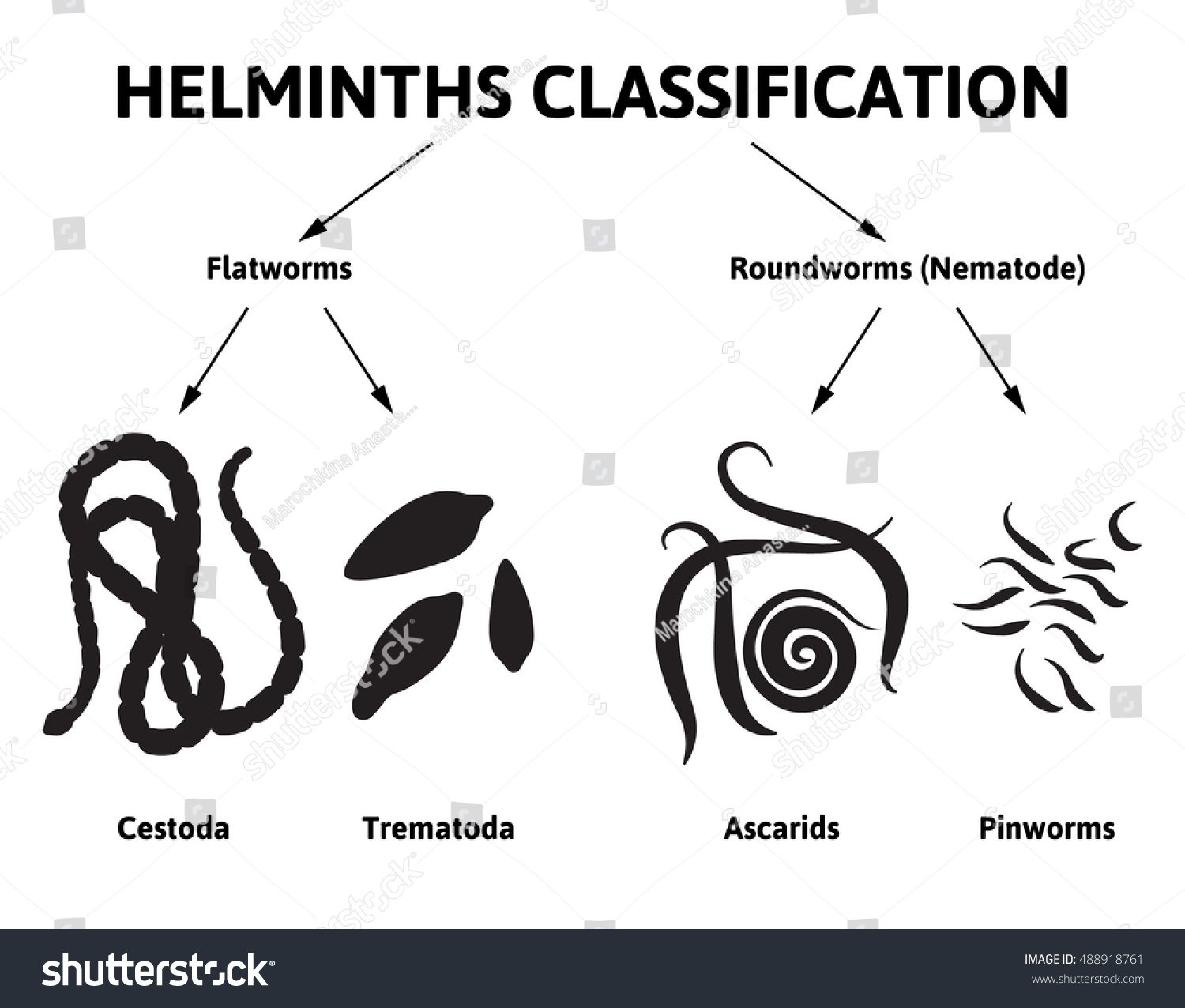 Diagram depicting class worms flat round stock vector 488918761 diagram depicting the class of worms flat and round worms types of parasites pooptronica