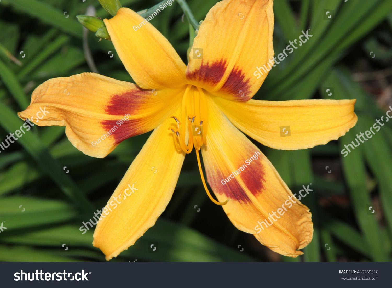 Hemerocallis Bonanza Bonanza Daylily Perennial Tuft Stock Photo